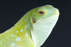Fiji iguana / Brachylophus fasciatus Royalty Free Stock Photo