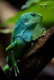 Fiji iguana in profile on tree branch Royalty Free Stock Images
