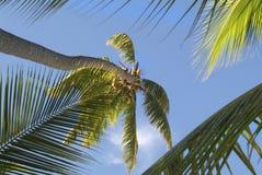 Fiji Island,. Fiji, coconut palm in south sea royalty free stock image