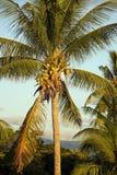 Fiji Nadi kokosnöt och palmträd Arkivbilder