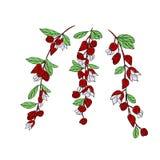 Fiji okwitni?cie, ilustracja Tagimaucia kwiat lub Medinilla Waterhousei, Krajowy kwiat Fiji royalty ilustracja