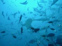 Fiji rekinu pikowanie obraz stock