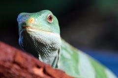 Fiji satte band den leguanBrachylophus fasciatusen Fotografering för Bildbyråer