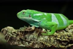 Fiji satte band den leguanBrachylophus fasciatusen Arkivfoto