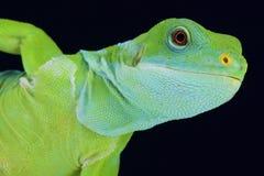Fiji satte band leguanen (den Brachylophus fasciatusen) Royaltyfria Bilder