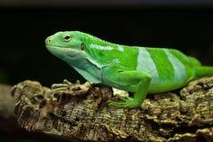 Fiji satte band leguanen & x28; Brachylophus fasciatus& x29; Arkivfoton