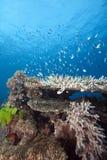 fiji underwater Zdjęcie Stock