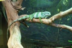 Fijian Banded Iguana - Brachylophus fasciatus Stock Photo