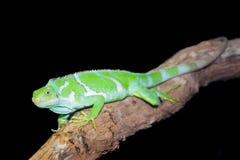 Fijian Crested Iguana Stock Photography