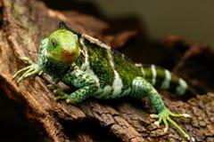 Fijian crested iguana Brachylophus vitiensis on Viti Levu Isla Stock Photography