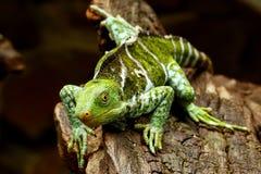 Fijian crested iguana Brachylophus vitiensis on Viti Levu Isla Royalty Free Stock Photography
