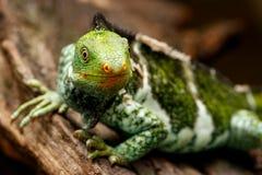 Fijian crested iguana Brachylophus vitiensis on Viti Levu Isla Royalty Free Stock Image