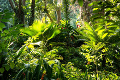 Fijian tropical jungle. MW - View through a rich jungle of tropical foliage of palms succulents wild ginger and banana trees - Fiji royalty free stock image