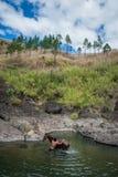 Fijianbonde som tvättar hans häst i en flod, bygd Fiji royaltyfria bilder