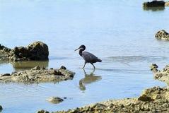 Fijiansk ö, zoologi fotografering för bildbyråer