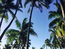 Fijianska palmträd Arkivbilder