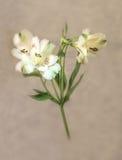 Fijn Art White Lily Stock Afbeelding