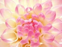 Fijne rooskleurige bloem. Stock Fotografie