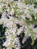 Fijne witte bloemen Stock Foto