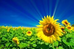 Fijne zonnebloemen en pretzon in de hemel. Stock Afbeelding
