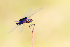 Fikcyjny Flutterer Zdjęcia Royalty Free