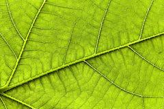fikonlövtree Arkivbild