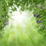 Fikonträd bär frukt på abstrakt bakgrund med gröna sidor Royaltyfri Foto