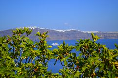 Fikonträd i Santorini med havet i bakgrunden Royaltyfri Bild
