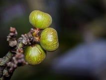 Fikonträd på fikonträdet Royaltyfria Bilder