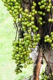 Fikonträd på trädet Royaltyfria Bilder