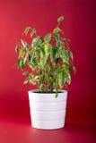 Fikus Benjamin Plant på röd bakgrund Royaltyfri Bild