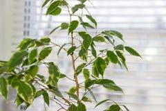 Fikus Benjamina bruk för växt för leaf för bakgrundsdetaljhus Arkivfoto
