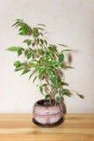 Fikus Benjamina bruk för växt för leaf för bakgrundsdetaljhus Royaltyfria Bilder
