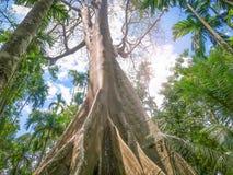 Fikusalbipila, jätte- träd på Uthaithani, Thailand arkivfoton