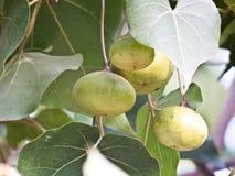 Fikusreligiosa eller Peepal trädfrukt Arkivbilder