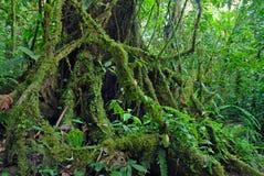 Fikusträdet rotar i rainforest djungeln, Costa Rica arkivbild