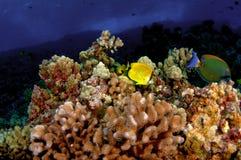 Filón coralino Foto de archivo