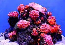 Filón coralino colorido Foto de archivo