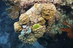 Filón coralino con el nudibranch Imagen de archivo libre de regalías