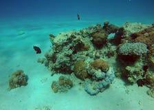 Filón coralino en el Mar Rojo Fotos de archivo