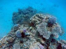 Filón coralino en el Mar Rojo Imagen de archivo libre de regalías