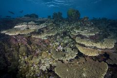 Filón coralino hermoso fotos de archivo libres de regalías