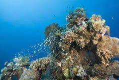 Filón coralino tropical con la pequeña escuela de Glassfish Foto de archivo libre de regalías