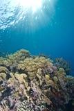 Filón coralino tropical en agua baja. Fotos de archivo libres de regalías