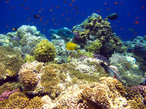 Filón coralino tropical en el Mar Rojo fotografía de archivo libre de regalías