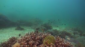 Filón coralino y pescados tropicales Filipinas, Mindoro almacen de video