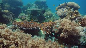 Filón coralino y pescados tropicales Filipinas, Mindoro metrajes