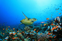 Filón coralino y tortuga Imágenes de archivo libres de regalías
