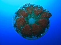 Filón de barrera de los aguijones de las medusas gran Australia fotos de archivo libres de regalías