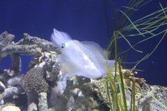 Filón grande de la aleta del calamar Imagen de archivo